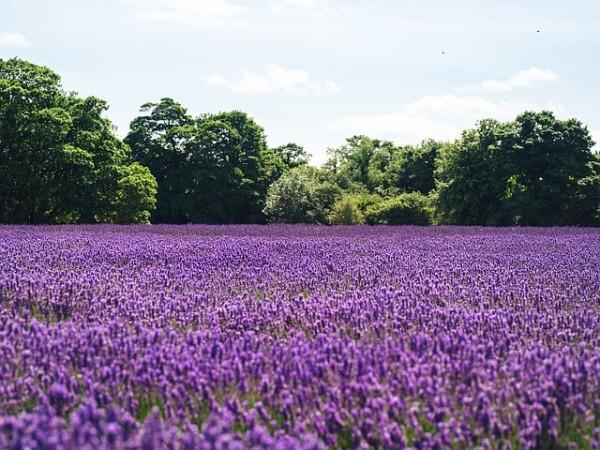lilac-1081814_640