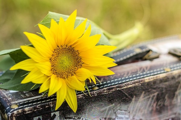 sunflower-1156539_640